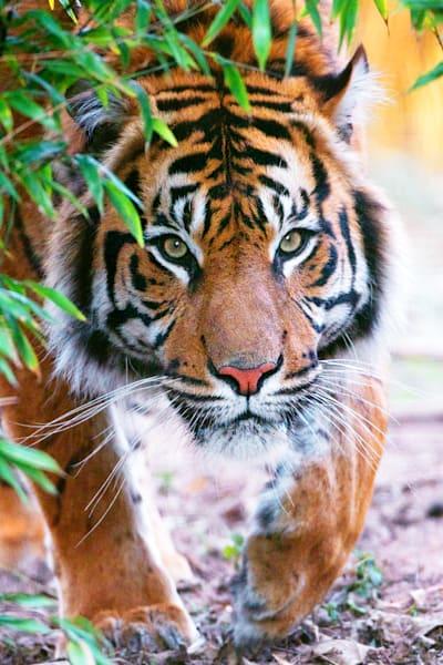 tigers-010