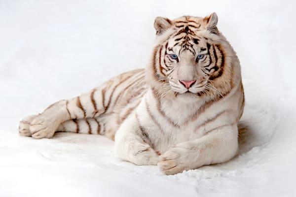 tigers-013