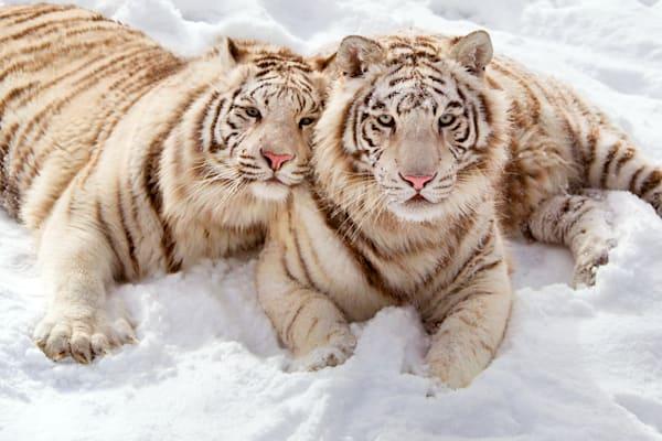 Tigers 014 Photography Art   Cheng Yan Studio
