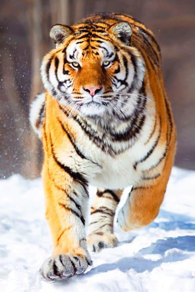 Tigers 015 Photography Art   Cheng Yan Studio