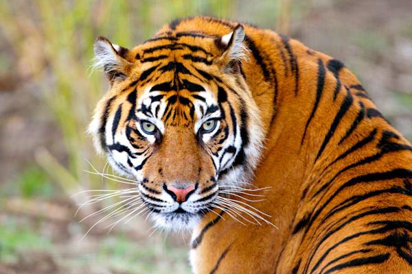 tigers-017