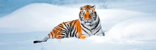 Tigers 021 Photography Art   Cheng Yan Studio