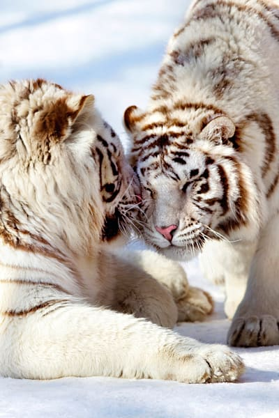 Tigers 016 Photography Art   Cheng Yan Studio