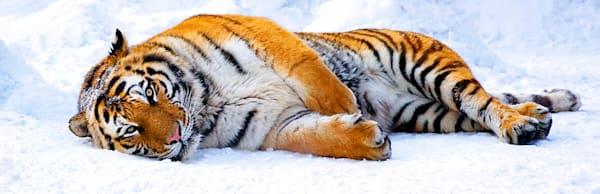 tigers-020