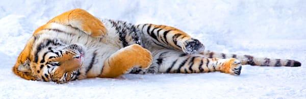 Tigers 022 Photography Art   Cheng Yan Studio
