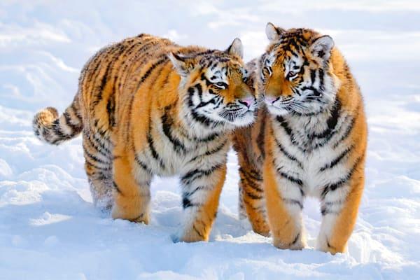 Tigers 023 Photography Art | Cheng Yan Studio