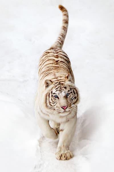 Tigers 024 Photography Art | Cheng Yan Studio