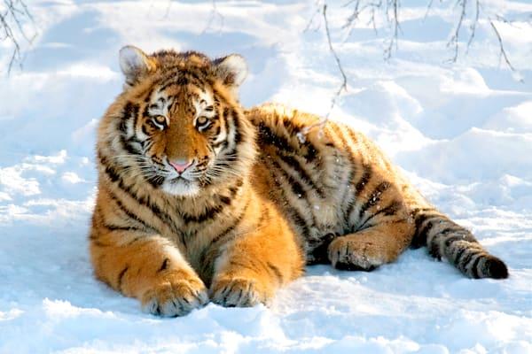 tigers-026
