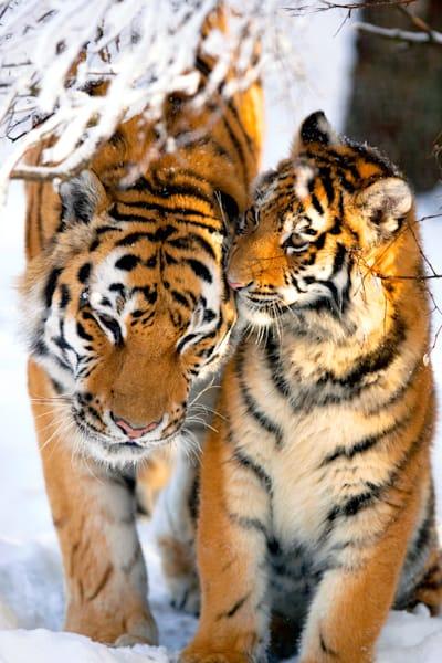 tigers-027