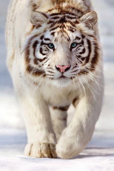 tigers-030
