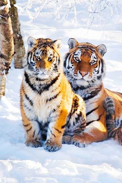 Tigers 028 Photography Art   Cheng Yan Studio