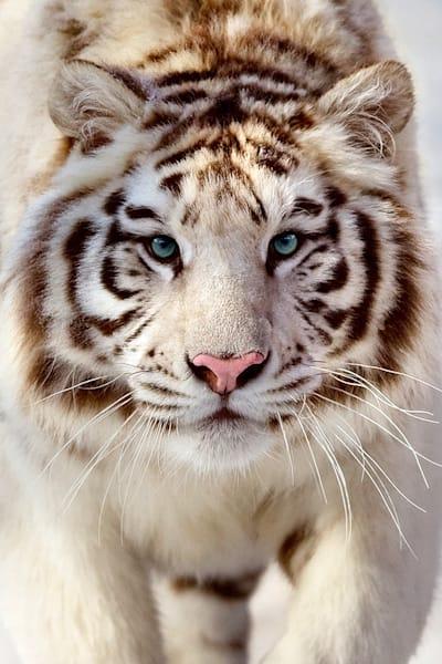 tigers-029