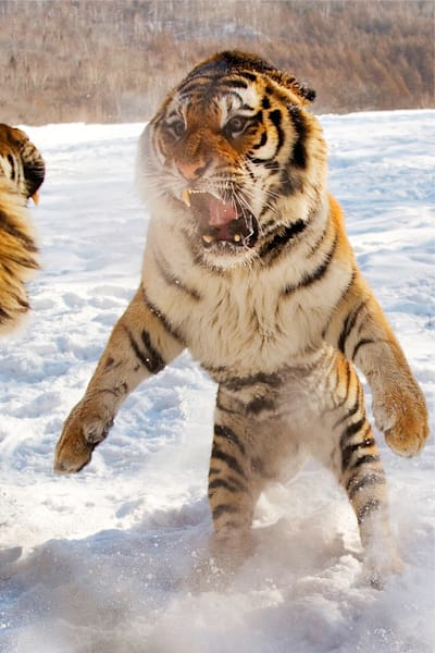 Tigers 031 Photography Art   Cheng Yan Studio