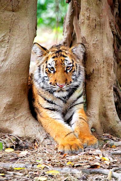 Tigers 025 Photography Art | Cheng Yan Studio