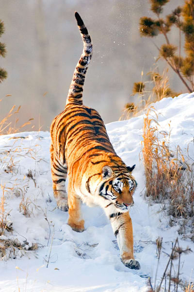 tigers-032