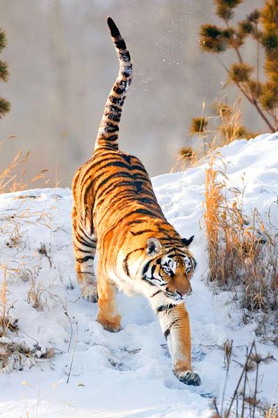 Tigers 032 Photography Art | Cheng Yan Studio