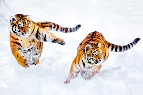 Tigers 033 Photography Art   Cheng Yan Studio
