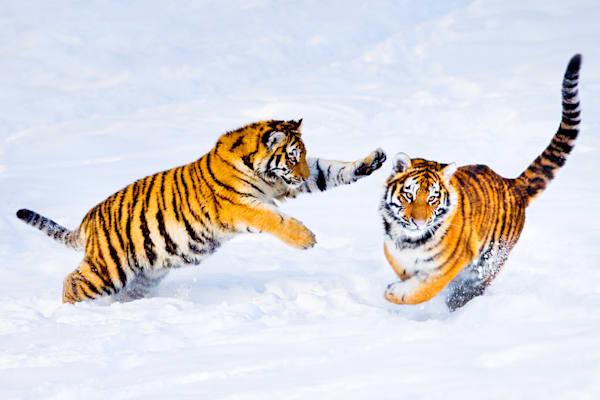 Tigers 035 Photography Art | Cheng Yan Studio