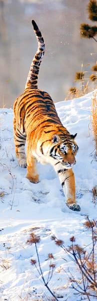 Tigers 038 Photography Art | Cheng Yan Studio