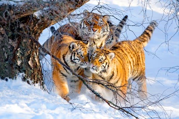 Tigers 036 Photography Art | Cheng Yan Studio
