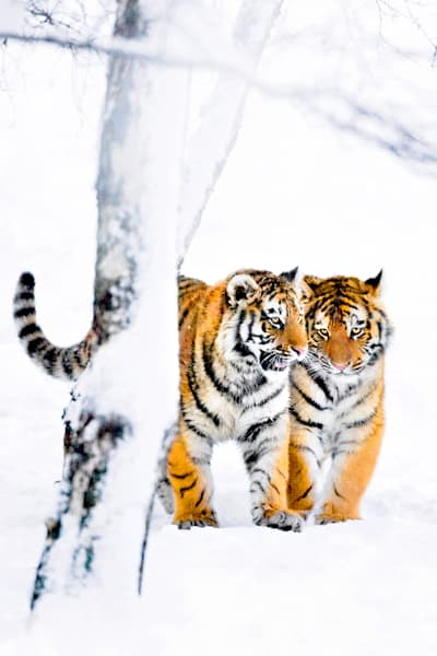 Tigers 037 Photography Art | Cheng Yan Studio