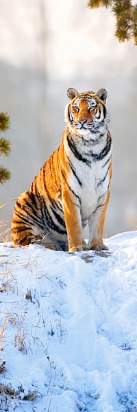 Tigers 039 Photography Art | Cheng Yan Studio