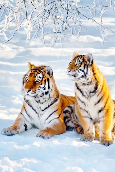 Tigers 040 Photography Art | Cheng Yan Studio