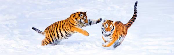 Tigers 043 Photography Art | Cheng Yan Studio