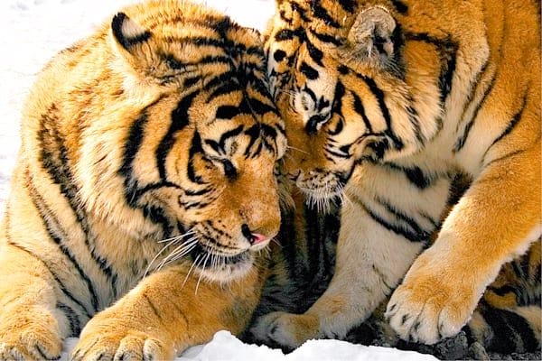 Tigers 034 Photography Art | Cheng Yan Studio