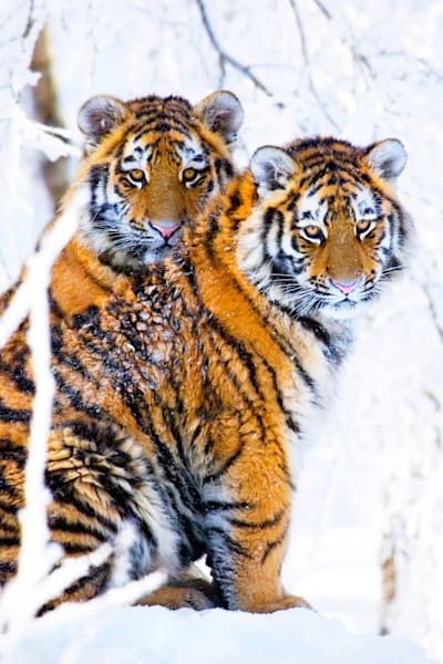 Tigers 041 Photography Art | Cheng Yan Studio