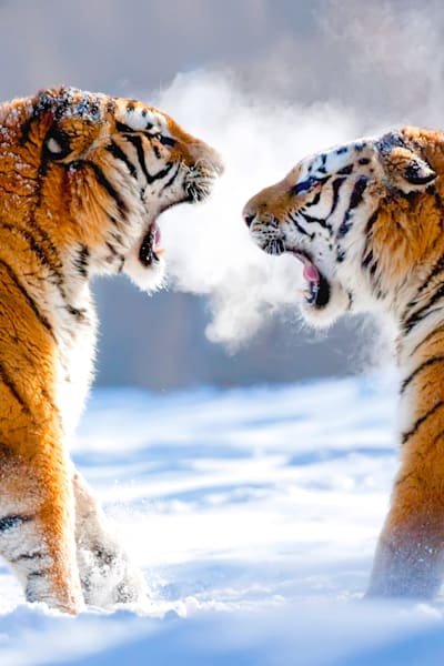 Tigers 045 Photography Art | Cheng Yan Studio
