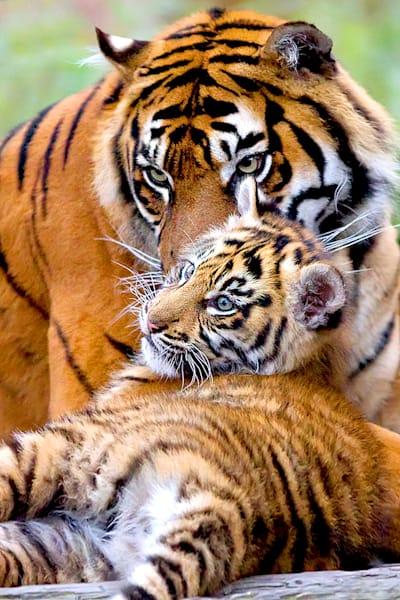 tigers-044