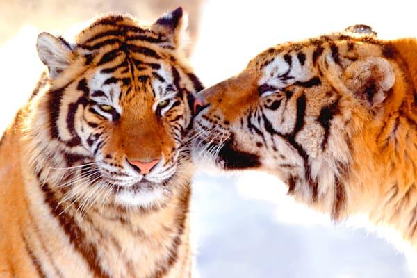 Tigers 046 Photography Art | Cheng Yan Studio