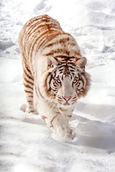 tigers-048