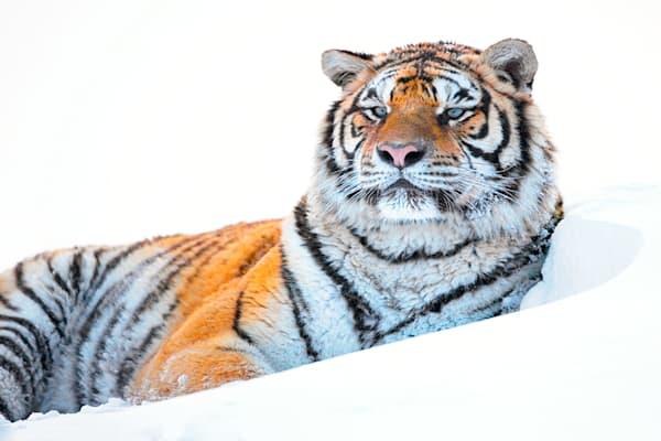 Tigers 051 Photography Art | Cheng Yan Studio