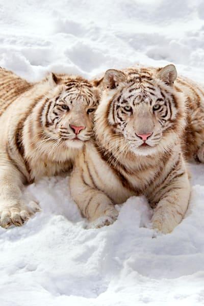 Tigers 052 Photography Art | Cheng Yan Studio