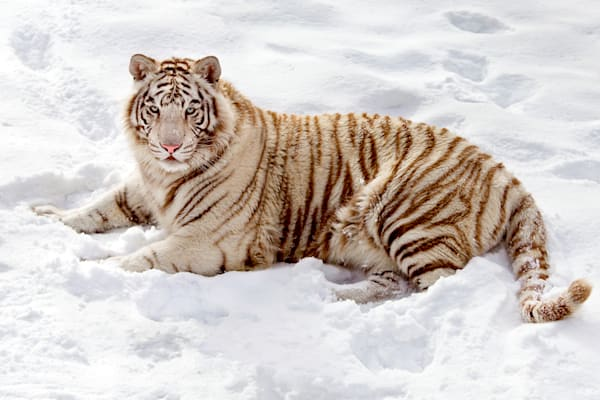 Tigers 050 Photography Art | Cheng Yan Studio