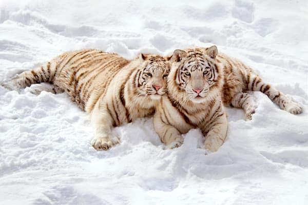 Tigers 055 Photography Art | Cheng Yan Studio