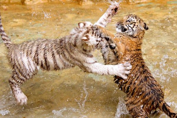 tigers-054
