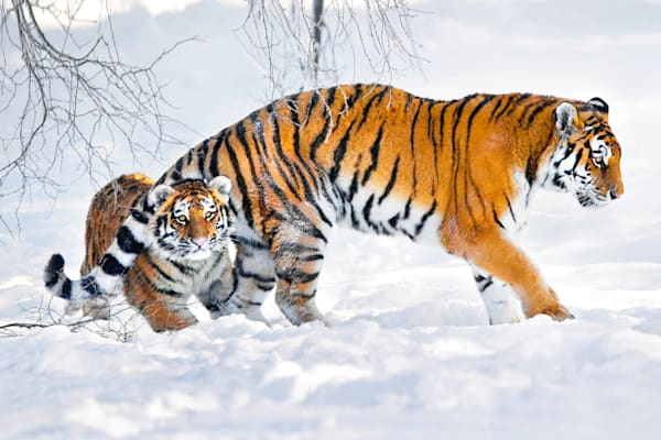 Tigers 059 Photography Art | Cheng Yan Studio