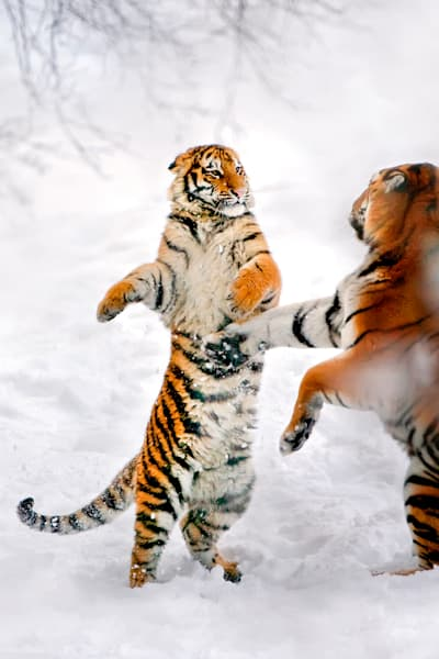 Tigers 060 Photography Art | Cheng Yan Studio