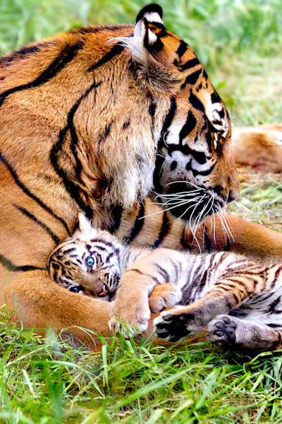 tigers-057