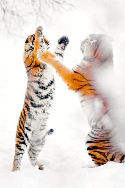 Tigers 064 Photography Art | Cheng Yan Studio