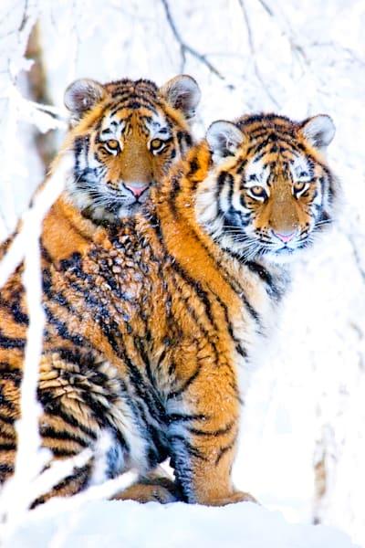 tigers-062