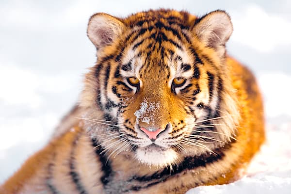 Tigers 063 Photography Art | Cheng Yan Studio