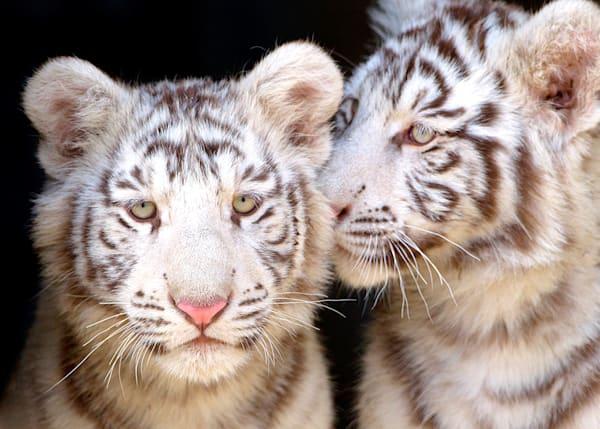 Tigers 065 Photography Art | Cheng Yan Studio