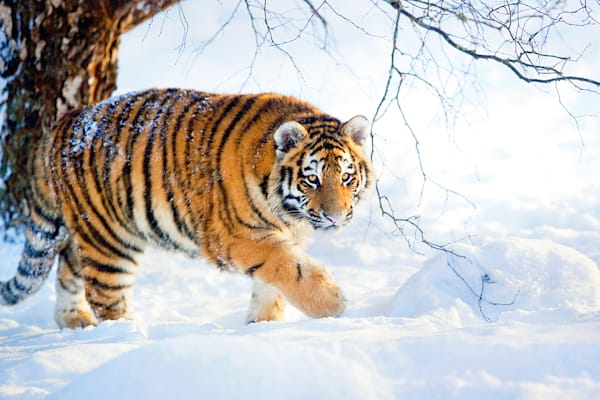 Tigers 066 Photography Art   Cheng Yan Studio