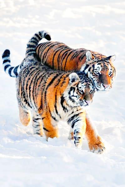 Tigers 068 Photography Art   Cheng Yan Studio