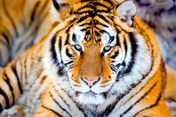 tigers-067