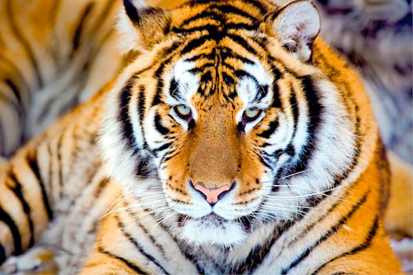 Tigers 067 Photography Art   Cheng Yan Studio